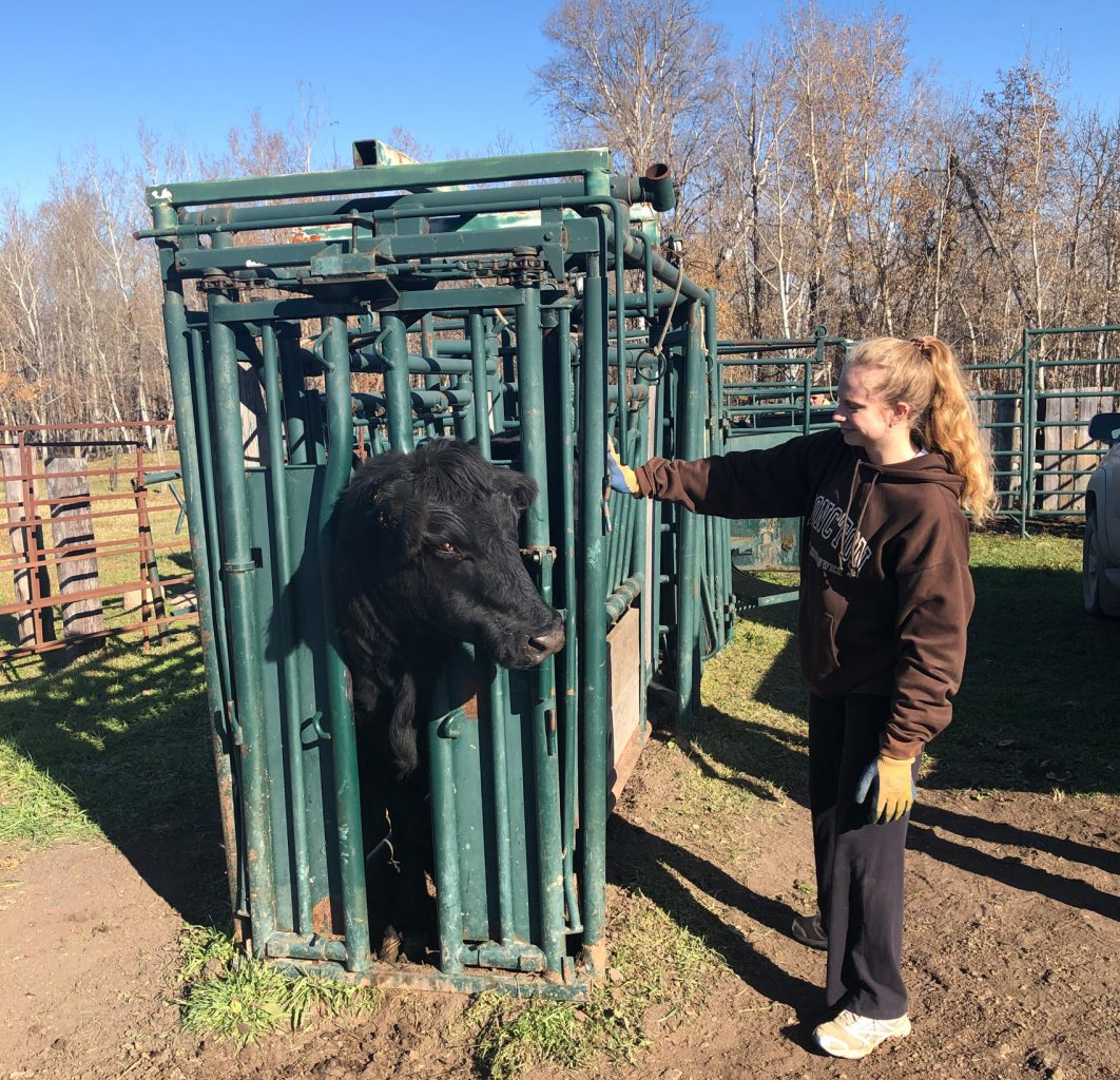 Danielle Major helping out with cattle chores on a visit to the family farm.